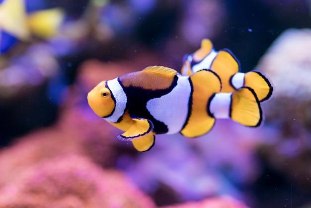 Amphiprion percula, poisson de mer rouge dans l'aquarium de récif corallien d'accueil.