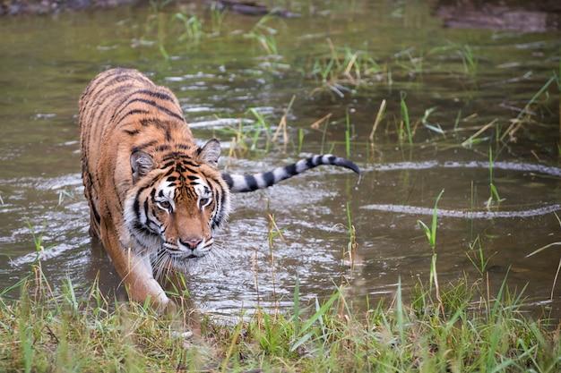 Amur tiger émerge de l'eau