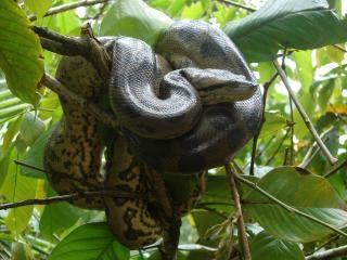 Anaconda dans l'arbre