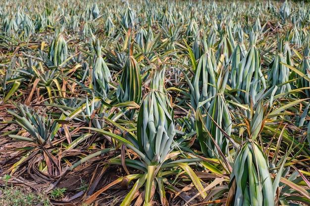 Ananas dans un champ d'ananas près de la récolte.
