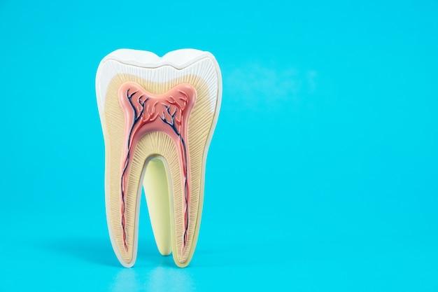 Anatomie dentaire sur fond bleu.