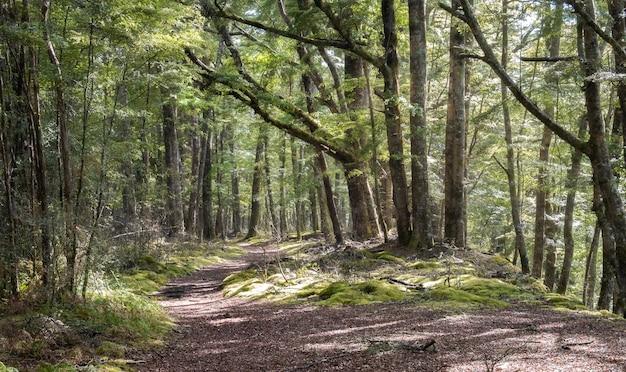 Ancienne forêt mystique avec chemin menant à travers kepler track parc national de fiordland en nouvelle-zélande