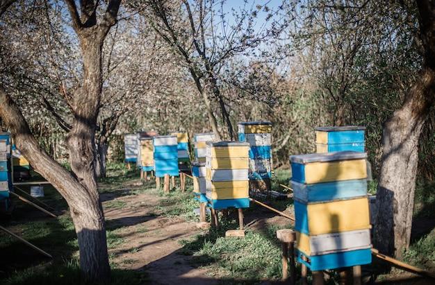 Anciennes ruches multicolores sur rucher. cerise en fleurs avec pollen pour le développement des abeilles en avril. primevères près des ruches avec des abeilles en cuivre. apiculture