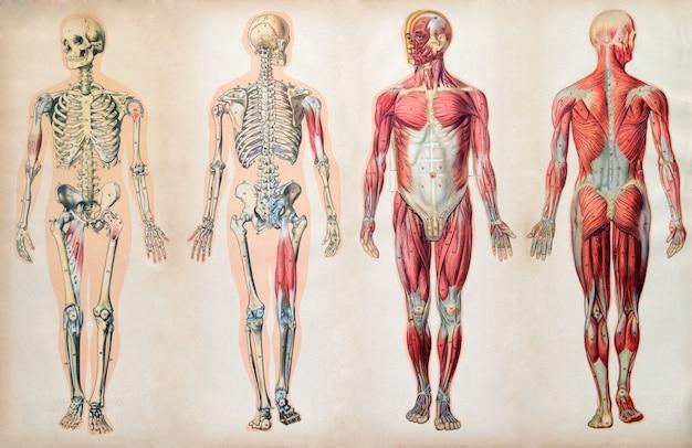 Anciens diagrammes d'anatomie vintage du corps humain