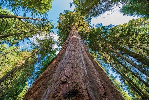Ancient sequoias géantes