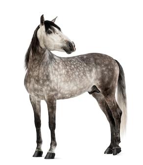 Andalou, 7 ans, regardant en arrière, également connu sous le nom de pure spanish horse ou pre contre l'espace blanc