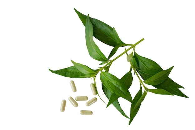 Andrographis paniculata nees et capsule de pilule sur fond blanc est un remède à base de plantes thaï amer