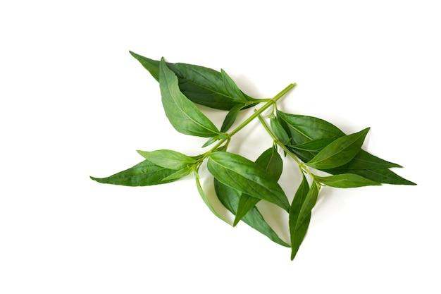 Andrographis paniculata nees sur fond blanc est un remède à base de plantes thaï amer