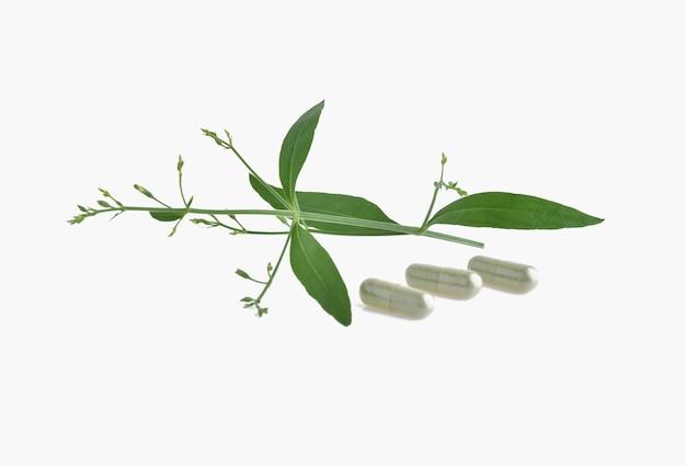Andrographis paniculata plante sur fond blanc