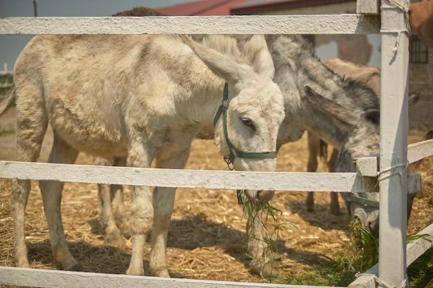 Âne dans l'enclos de la ferme en été
