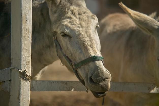 Âne dans une ferme d'élevage pour manger en brossant l'herbe juste à l'extérieur de la clôture.