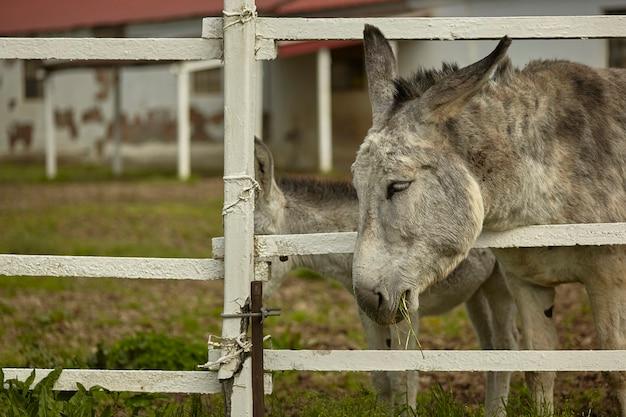 L'âne essaie de se nourrir en mettant sa tête hors de la clôture