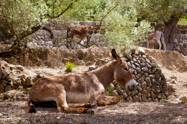 Âne mulet dans le champ méditerranéen de l'olivier de majorque