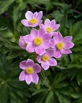 L'anémone est une primevère de montagne sauvage premières fleurs de printemps