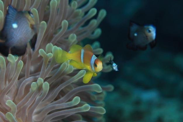 Anémone de mer et poisson-clown mer rouge