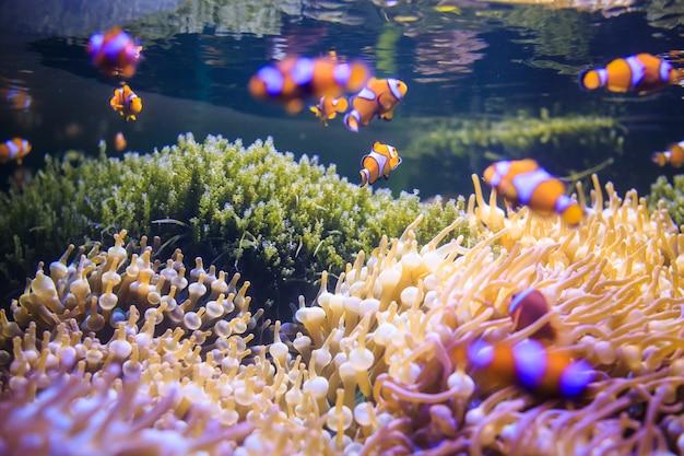Anémone avec poisson clown, thaïlande sous l'eau