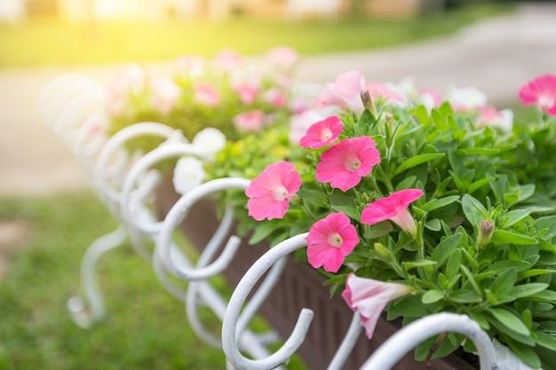 Anémone rose fleurs dans des pots en fer forgé blanc avec la lumière du soleil du matin.