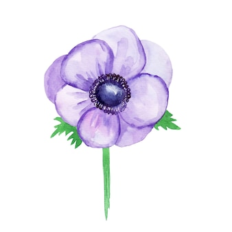 Anémone violette, croquis. illustration aquarelle, dessinée à la main.