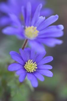 Anémones bleues fleurs gros plan sur nature floue fleurs de printemps belle fleur
