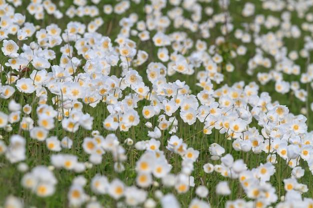 Anémones fleurissant sur les roches de craie. printemps floral.
