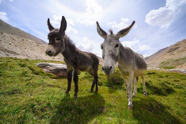 Ânes de la faune sur la montagne