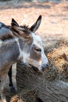 Les ânes mangent de l'herbe
