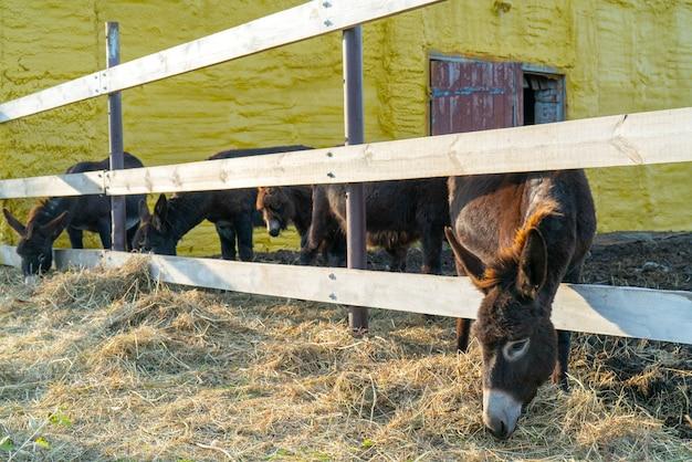 Ânes noirs domestiqués dans le paddock de la ferme. animaux un jour d'été.