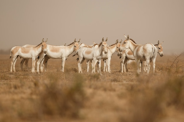 Ânes sauvages dans le désert