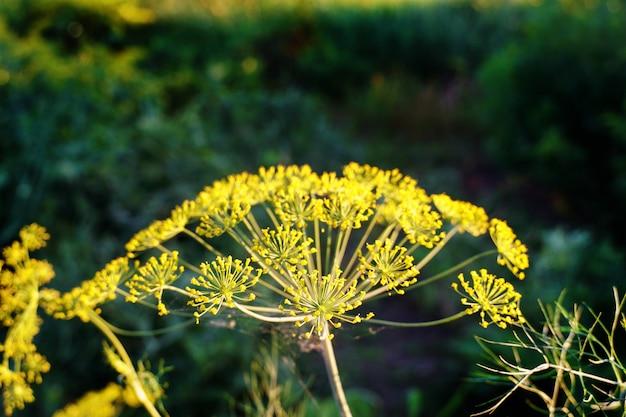 Aneth en fleurs. fond vert avec des fleurs d'aneth jaune