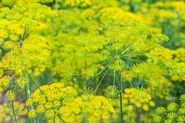 Aneth, une plante de jardin fleurie, mur naturel