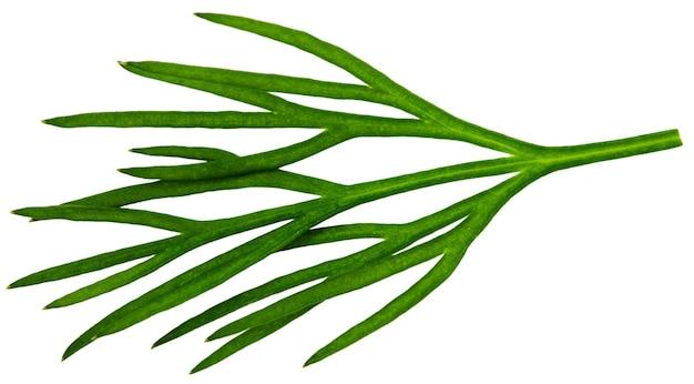 Aneth vert frais isolé sur fond blanc.