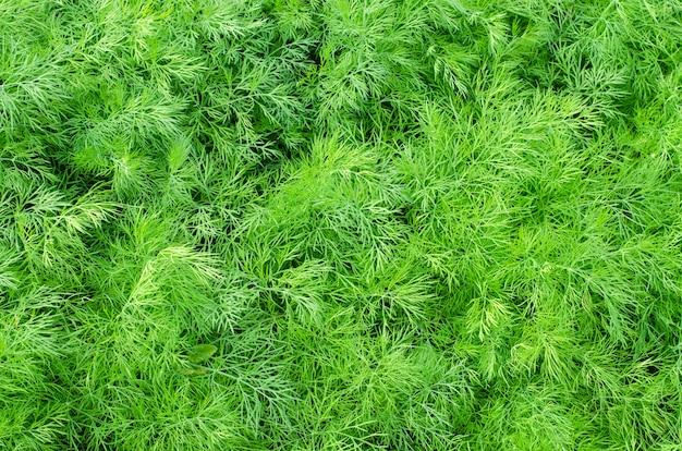 Aneth vert frais se bouchent dans la nature