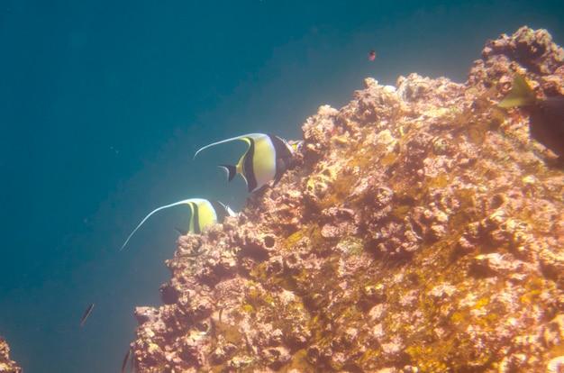 Angelfish nageant sous l'eau, darwin bay, île genovesa, îles galapagos, équateur