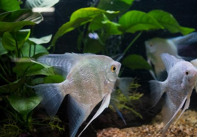 Angelfish pterophyllum scalare en aquarium