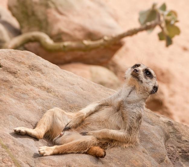 Angle hollandais tourné d'un suricate allongé sur une surface rocheuse