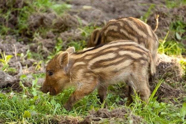 Animal brun bébé cheveux de fourrure mignon de porc sanglier herbe