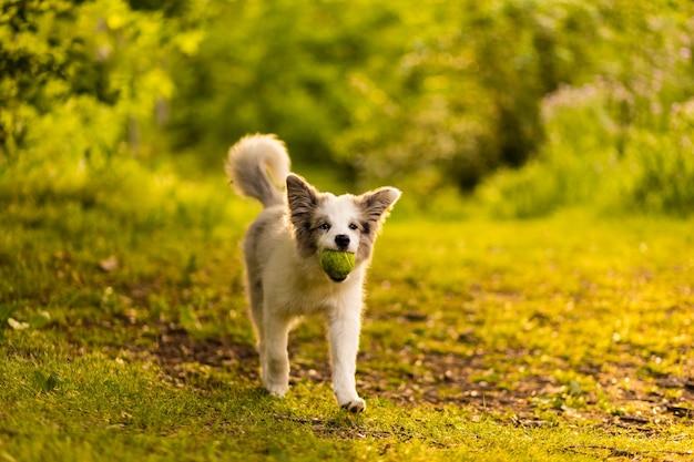 Animal domestique animal de compagnie jouer heureux dans un fond de rêves beau pedigree border collie runing