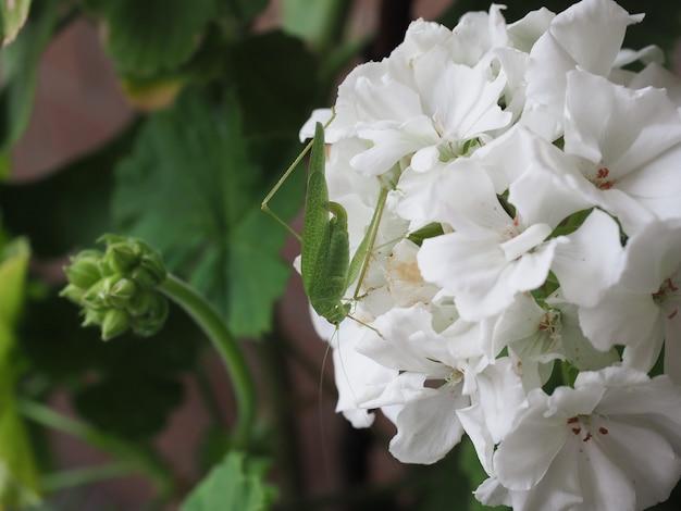 Animal insecte sauterelle sur fleur de géranium