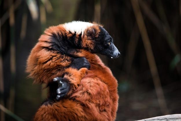 Animal lémurien ébouriffé rouge vue rapprochée