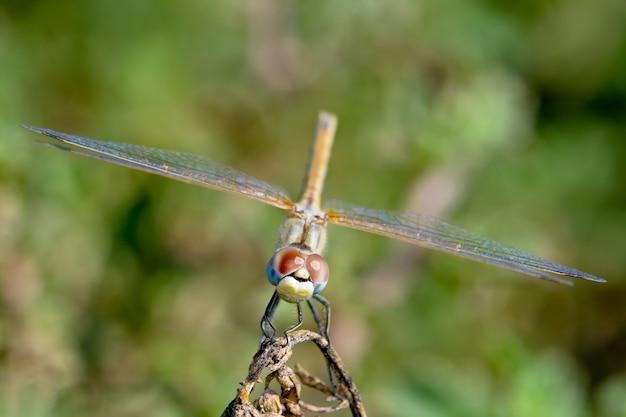 Animal libellule