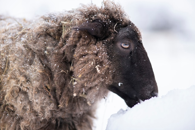 Animal, le mouton mange de la neige à la journée froide d'hiver enneigée.