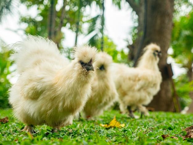 L'animal de poulet silkie trouve de la nourriture dans le jardin.