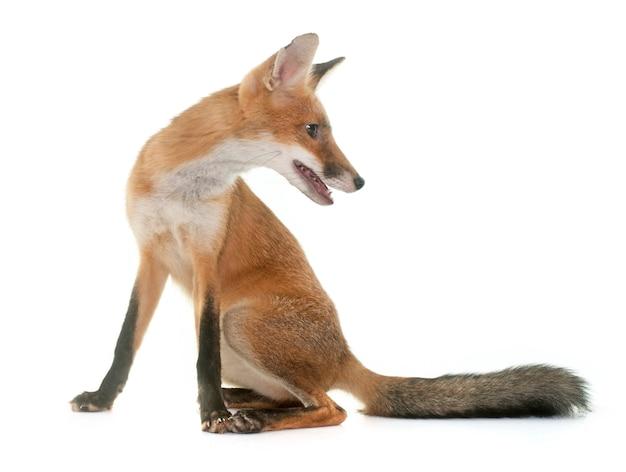 Animal renard