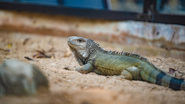Animal reptile iguane vert