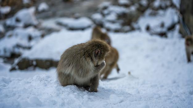 Animal sauvage macaque
