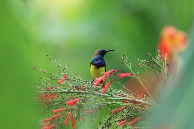 Animal sunbird à ventre jaune tenant sur le pétard plante la faune de la belle couleur