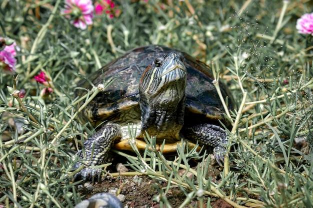 Animaux amphibies tortues avec des coquilles dures