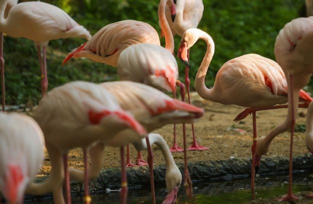 Animaux de la faune, flamants roses sont des types de limicoles, flyers. les flamants roses se tiennent habituellement dessus