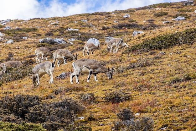 Animaux paissant sur la colline rocheuse