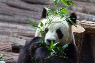 Animaux panda géant